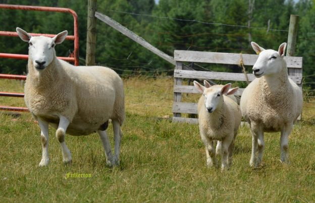 Upper Brook Farm - Sheep