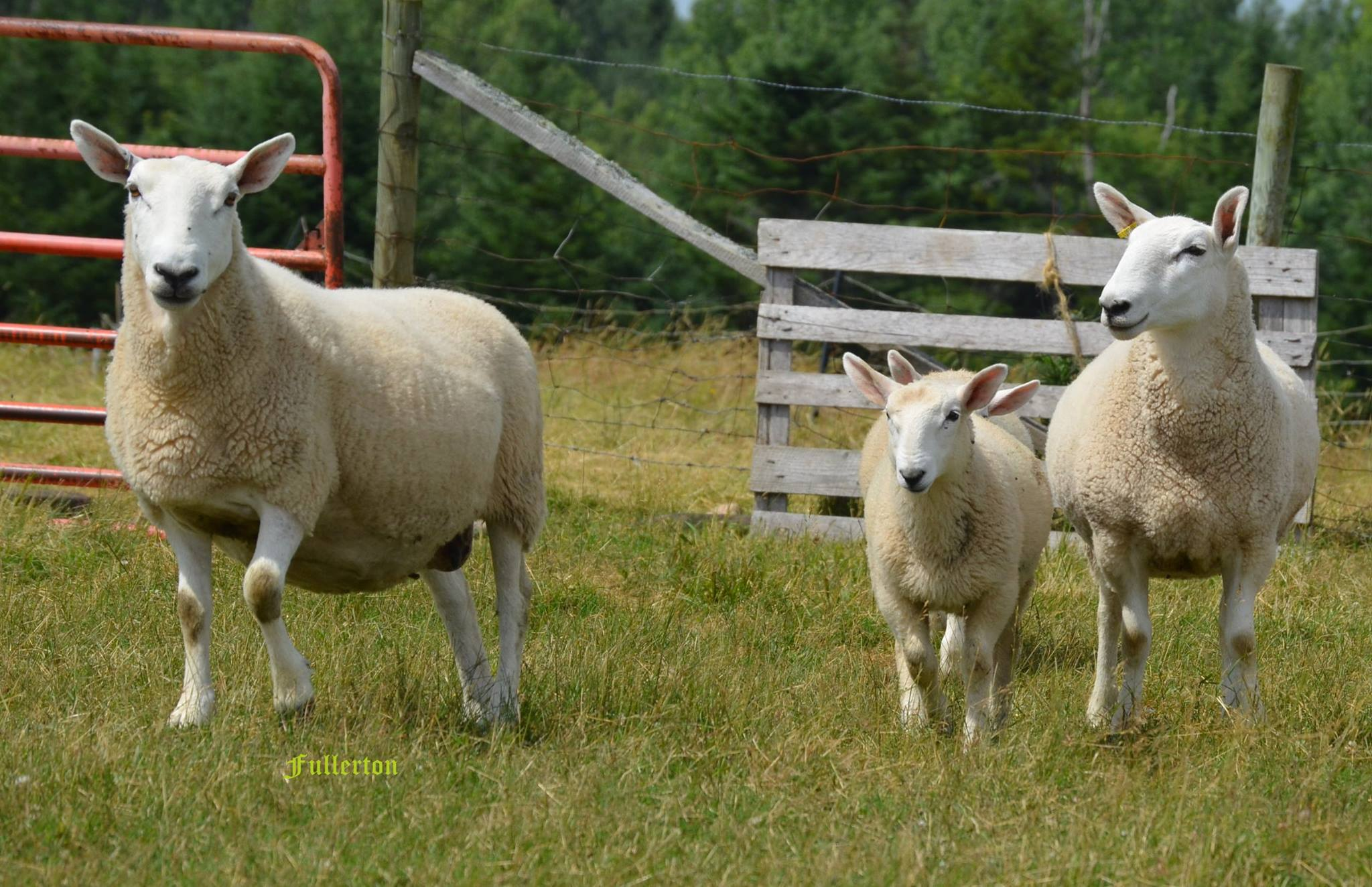 Upper Brook Farm - Sheep